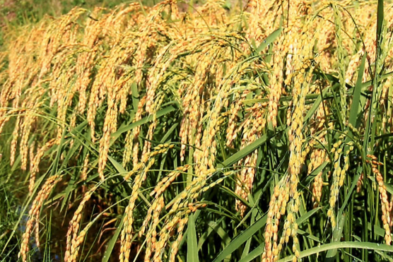 Photo of How To Make A Fortune In Rice Farming